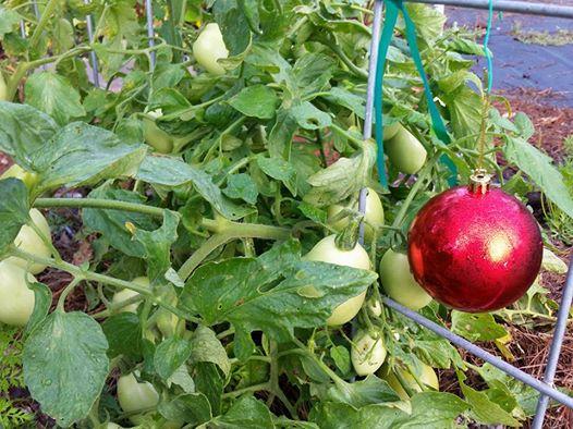 ornament on tomato plant